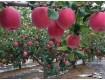 冰糖心红富士苹果价格陕西冰糖心红富士苹果基地冰糖心红富士苹果