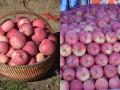 各地区红富士苹果价格节后一过后冷库苹果销量剧增