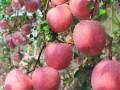 2018年山西山东红富士苹果价格产地行情如何看预计价格只高不低