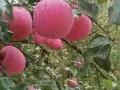 红富士苹果价格清明节前后行情
